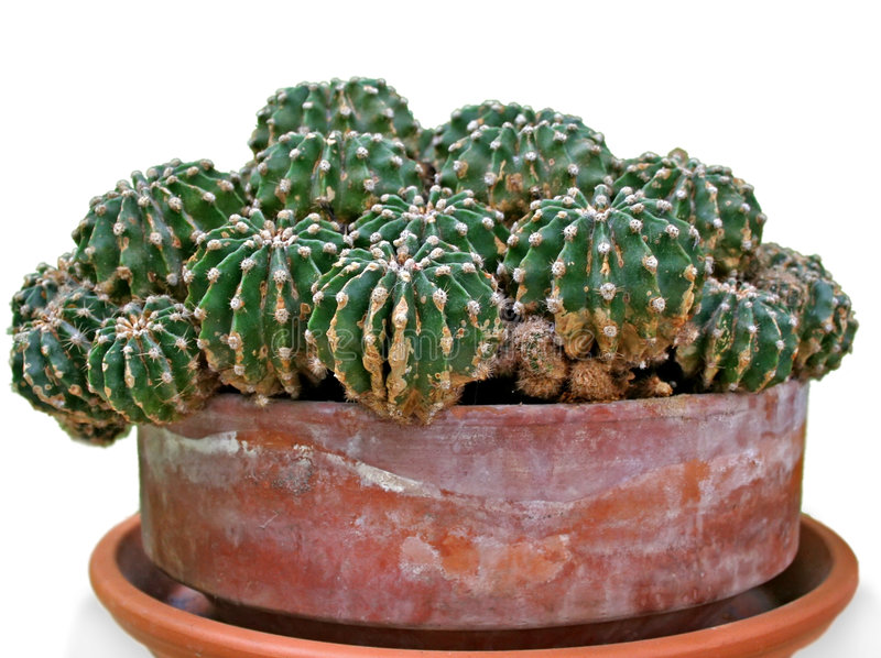 De close-up van de cactus. stock foto