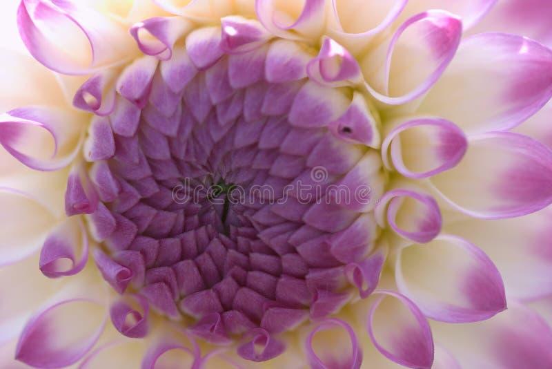 De close-up van de dahlia royalty-vrije stock foto's
