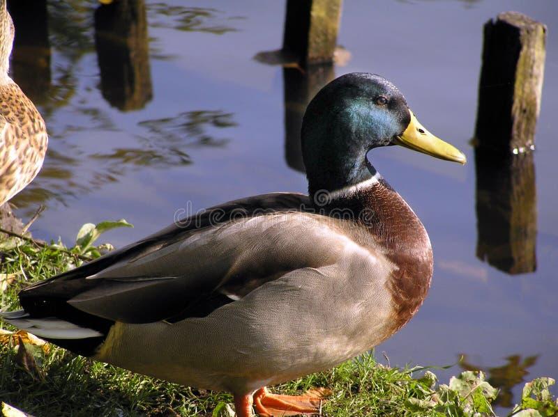 Download De Close-up Van De Eend Van De Wilde Eend Stock Foto - Afbeelding bestaande uit bezinning, vijvers: 276338