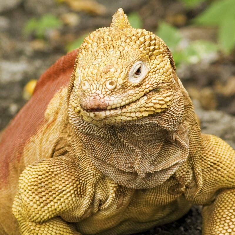 De Close-up van de Leguaan van het Land van de Galapagos stock foto's