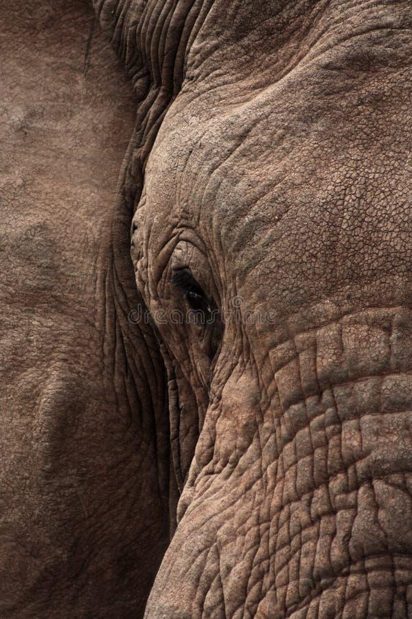 De Close-up van de olifant royalty-vrije stock afbeelding