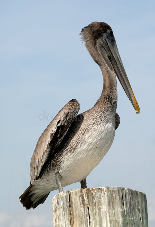 De close-up van de pelikaan royalty-vrije stock afbeeldingen