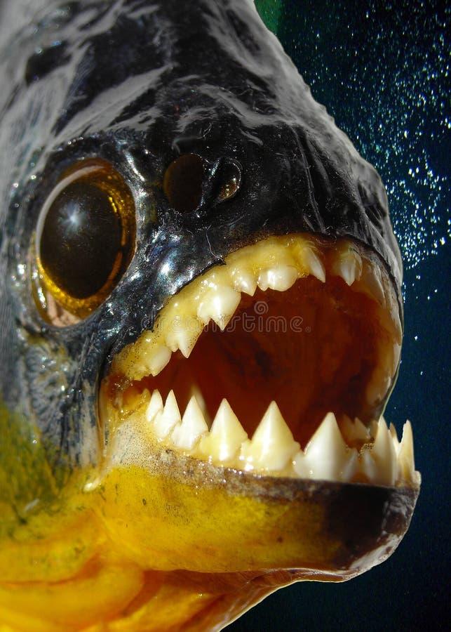 De close-up van de piranha stock afbeeldingen