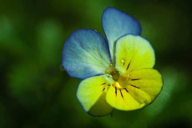De close-up van de viooltjebloem royalty-vrije stock afbeelding