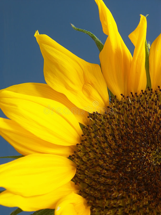 De close-up van de zonnebloem stock afbeelding