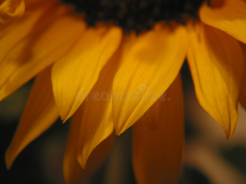 De Close-up van de zonnebloem stock foto's