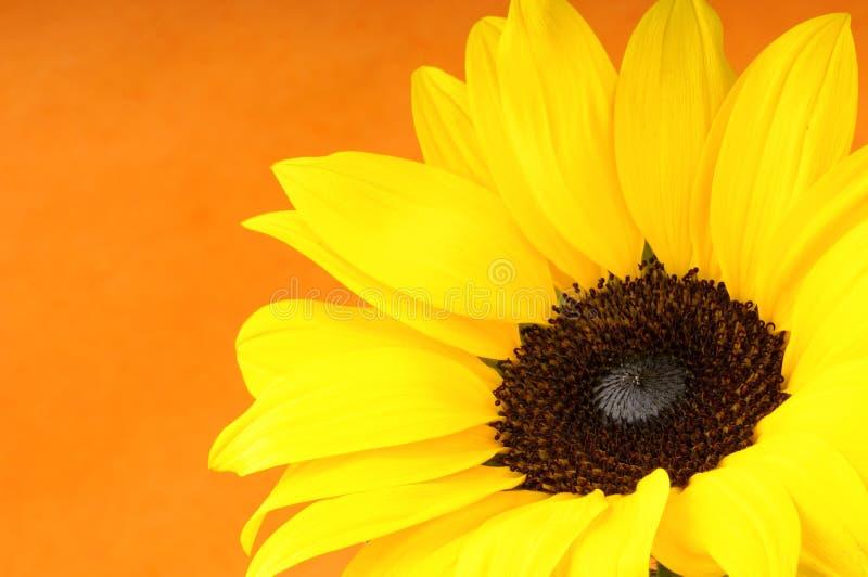 De close-up van de zonnebloem royalty-vrije stock fotografie