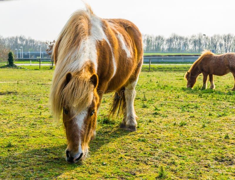 De close-up van een bruin met wit blotched paard die wat gras, poney het weiden in het weiland eten stock fotografie