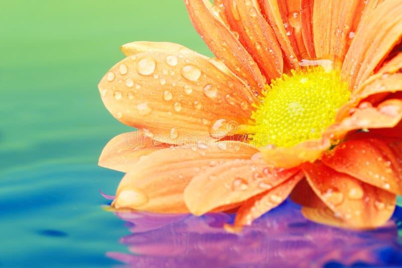 De close-up van een oranje bloem dacht in water na stock afbeelding