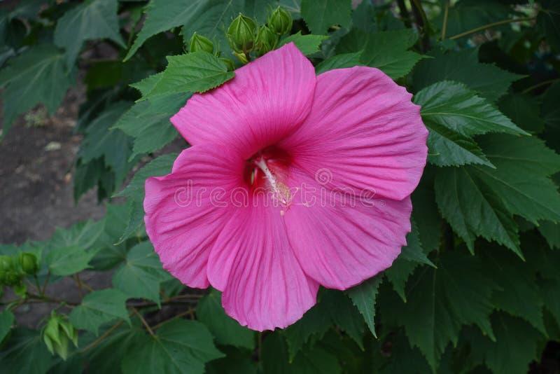 De close-up van enige diep nam bloem van Hibiscusmoscheutos toe stock afbeelding
