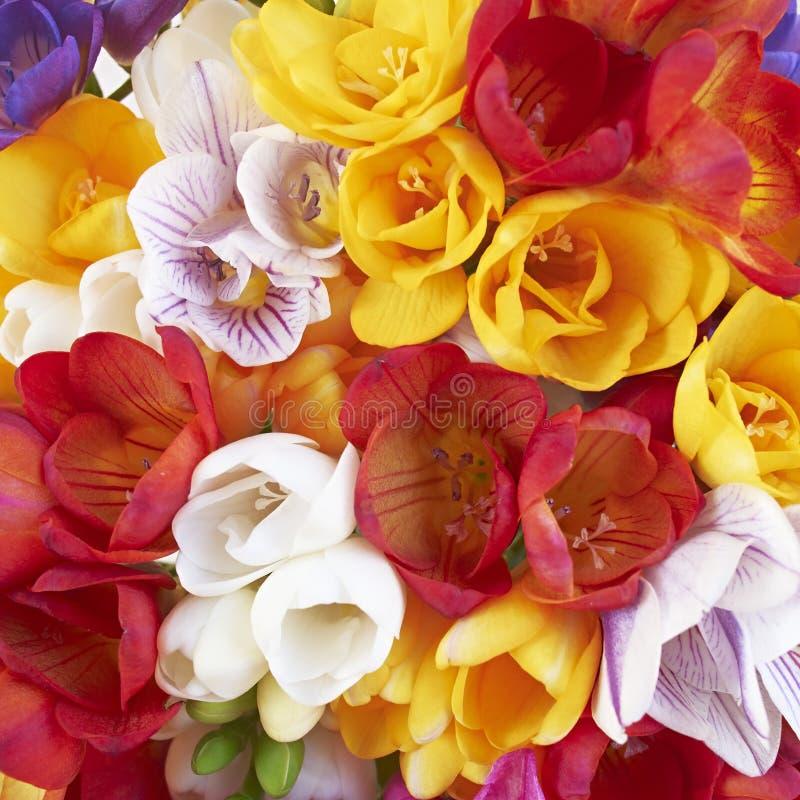 De close-up van fresiabloemen, natuurlijke achtergrond stock afbeeldingen