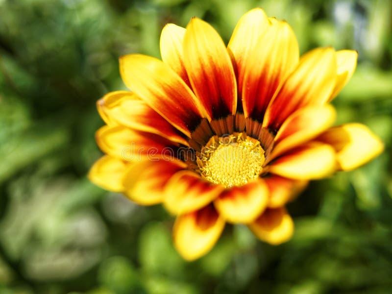 De close-up van de Gazaniabloem stock fotografie