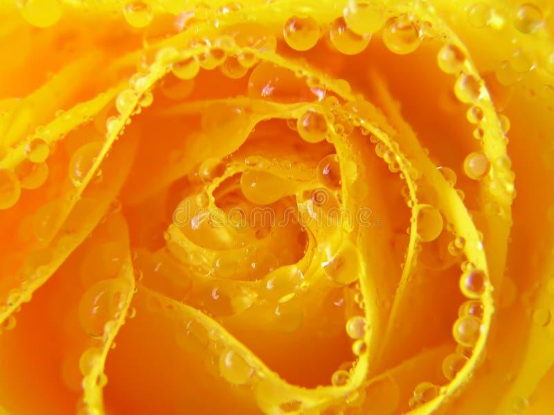 De close-up van geel nam met dalingen toe stock fotografie