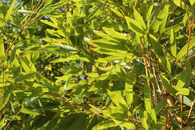 De close-up van groen bamboe doorbladert back-lit in de zon stock foto