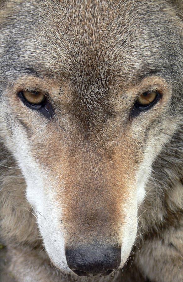 De Close-up van het Gezicht van de wolf royalty-vrije stock afbeelding