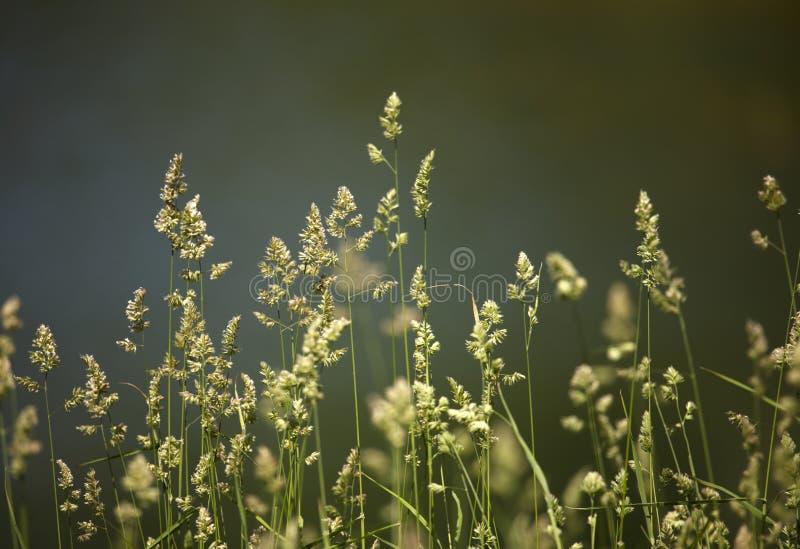 De close-up van het gras royalty-vrije stock afbeeldingen