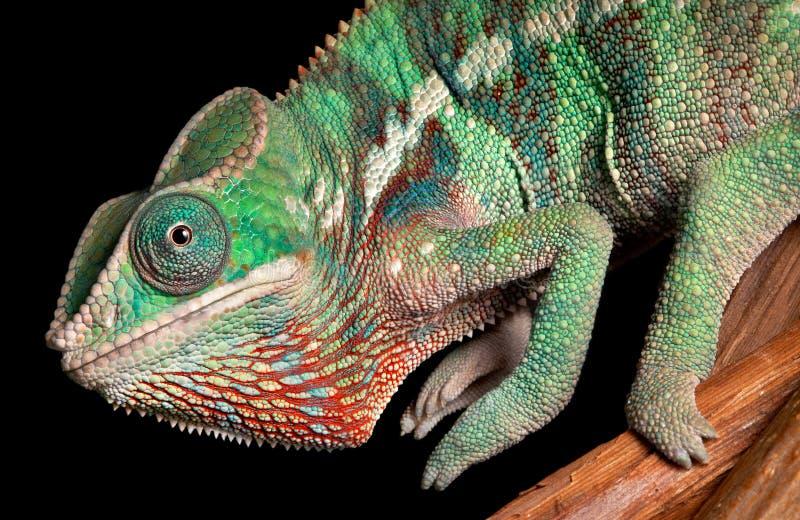 De close-up van het kameleon stock foto