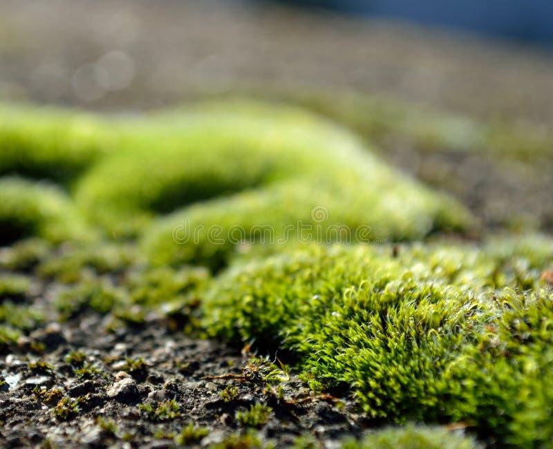 De close-up van het mos stock foto