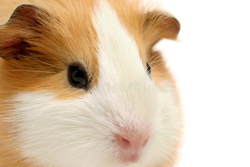 De close-up van het proefkonijn over wit stock afbeeldingen