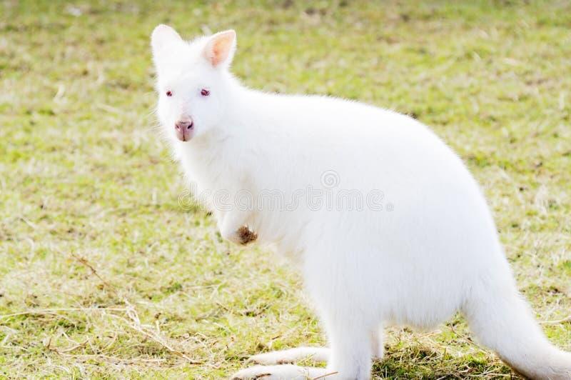 de wallaby van de albino stock foto afbeelding bestaande uit dier 29898024. Black Bedroom Furniture Sets. Home Design Ideas