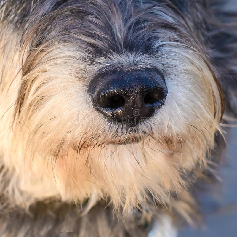De close-up van de hondneus royalty-vrije stock fotografie