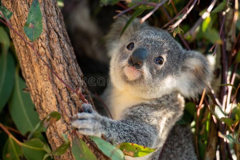 De close-up van koalajoey stock foto's