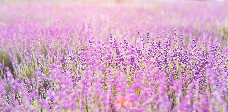 De close-up van lavendelstruiken royalty-vrije stock afbeeldingen