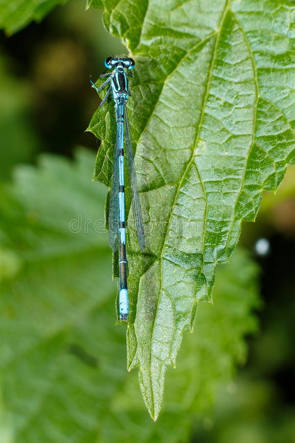 De close-up van de libel Een close-upfoto van een libelzitting op een blad Libel blauwe kleur in het bos in aard Vliegende optell royalty-vrije stock afbeelding