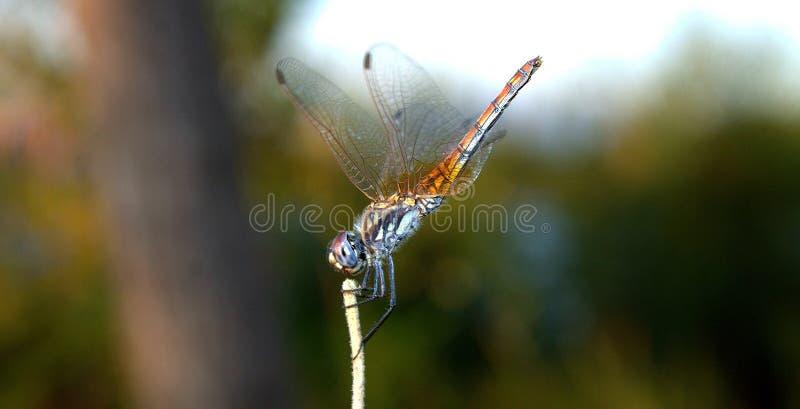 De close-up van de libel Een close-upfoto van een libelzitting op een blad Libel blauwe kleur in het bos in aard Vliegende optell royalty-vrije stock afbeeldingen