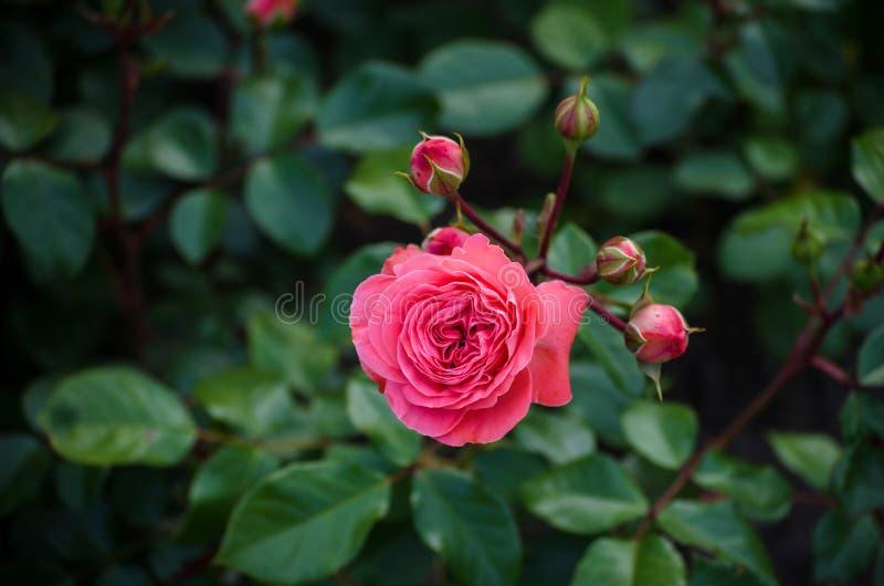 De close-up van lichtrose nam met kleine rosebuds onder groene bladeren toe stock fotografie