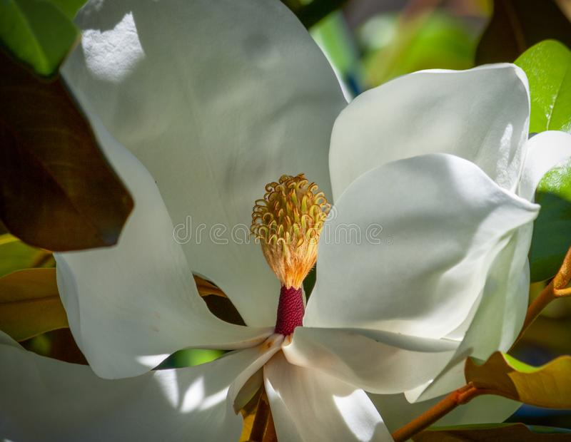 De close-up van de magnoliabloesem van carpels en stamens royalty-vrije stock foto
