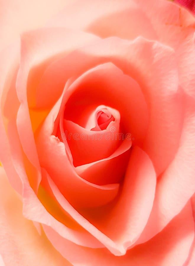 De close-up van mooi nam toe Uitstekende zachte roze kleur Mooie bloesem en bloemblaadjes royalty-vrije stock foto