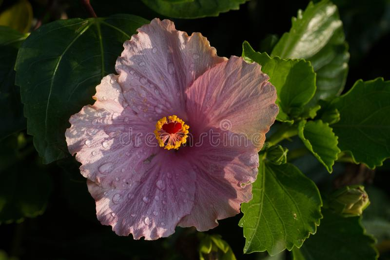 De close-up van purper hibiscus of China nam of gurhal toe stock afbeelding