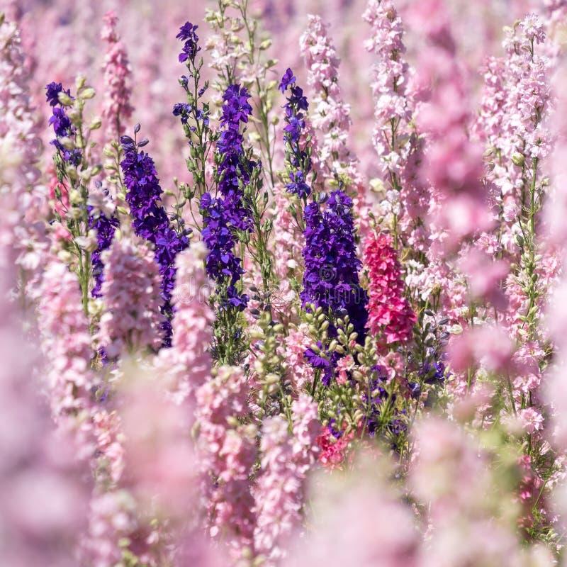 De close-up van purper ridderspoor bloeit op gebied bij Wiek, Pershore, Worcestershire, het UK De bloemblaadjes worden gebruikt o royalty-vrije stock afbeelding