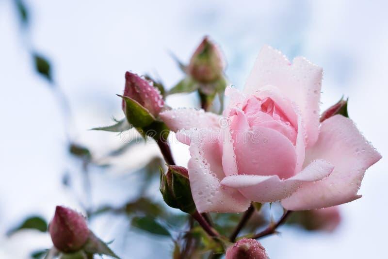 De close-up van roze nam toe royalty-vrije stock foto's