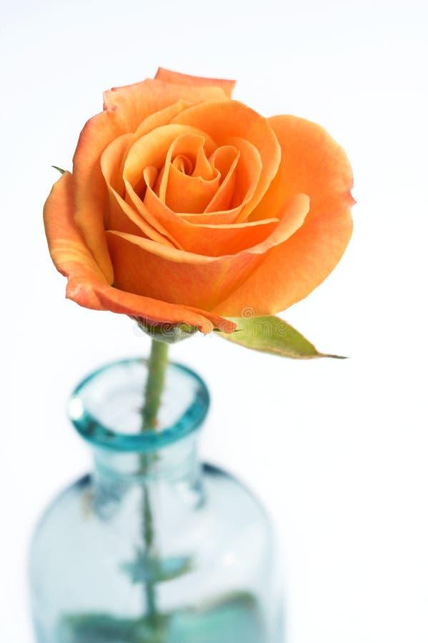De close-up van Sinaasappel nam toe royalty-vrije stock afbeeldingen