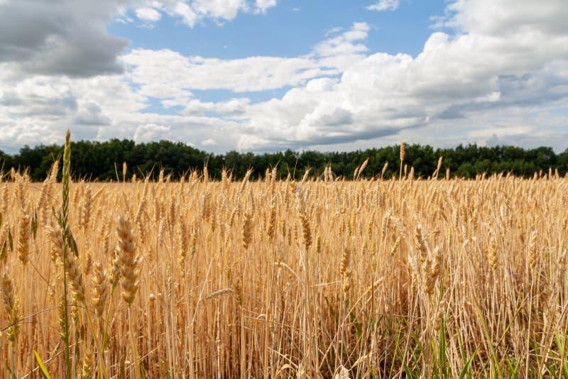 De close-up van de tarwe Het gebied van de tarwe Achtergrond van rijpende oren van tarwe stock fotografie