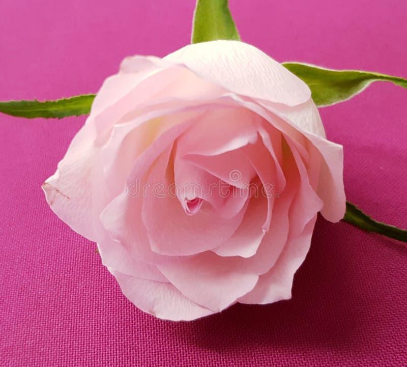 De close-up van teder nam toe Roze nam Achtergrond toe Mooie zachte bloem stock foto