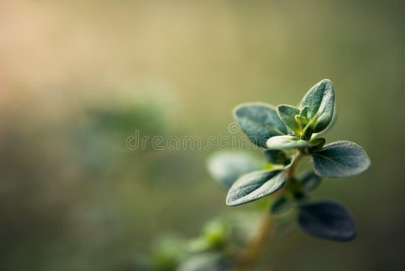 De Close-up van thymebladeren royalty-vrije stock foto's