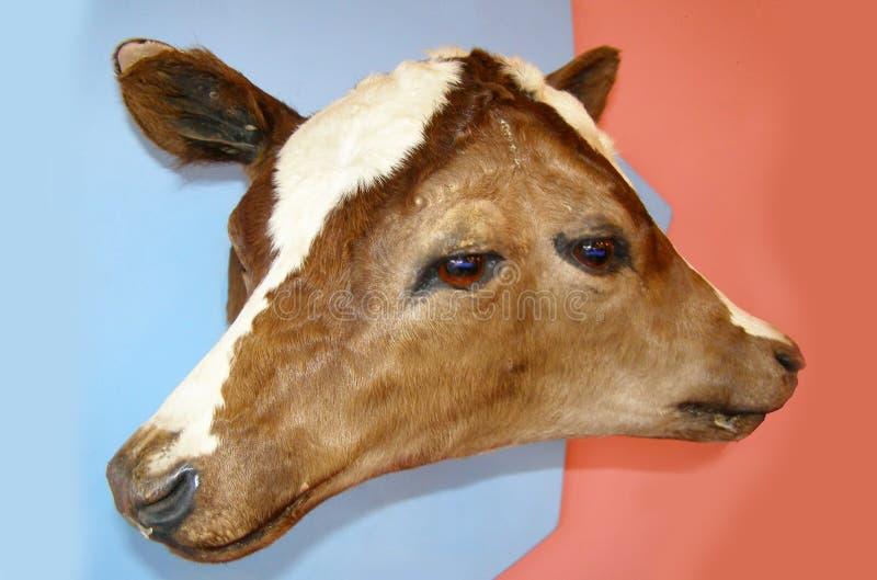 De close-up van twee geleide bicephalic of twee zag diprosopus bruin kalf, koe onder ogen stock fotografie