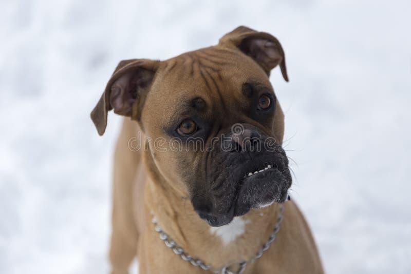 De close-up van de vriendschappelijke het kijken rasechte hond van de fawnbokser met uncropped oren royalty-vrije stock fotografie