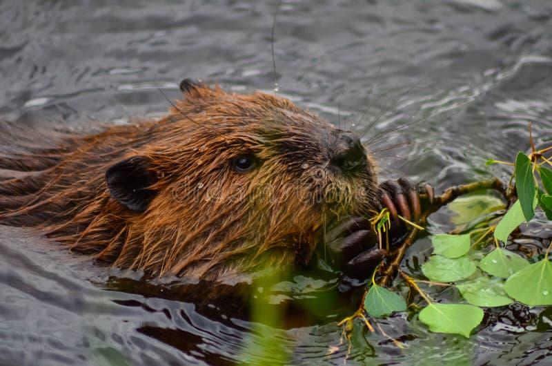 De close-upfoto van bever die in het meer, Tripple-meren eten sleept, het Nationaal park van Denali en Domein, Verenigd Alaska, royalty-vrije stock afbeelding