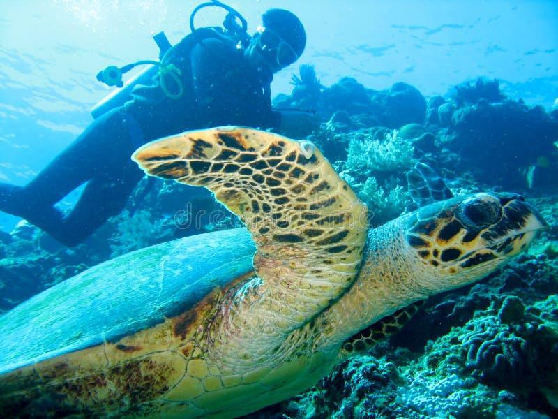 De close-upfoto van gigantische zeeschildpad op de voorgrond en scuba-duiker op de achtergrond stock foto