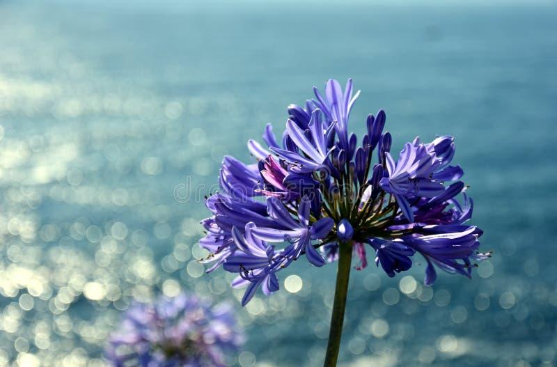 De close-upfoto van Lelie van de Nijl, riep ook Afrikaanse Blauwe Leliebloem royalty-vrije stock foto's