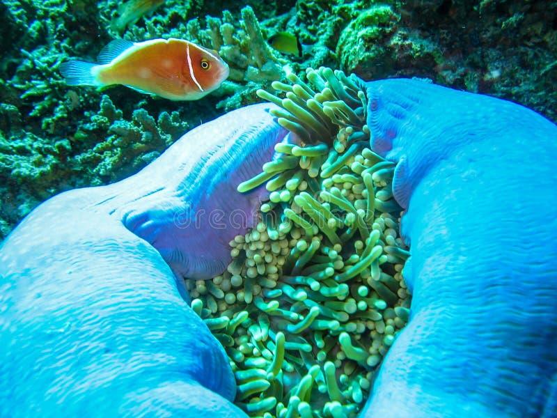 De close-upfoto van pingelt clownvissen en het grote anemoon onderwaterwild stock afbeelding