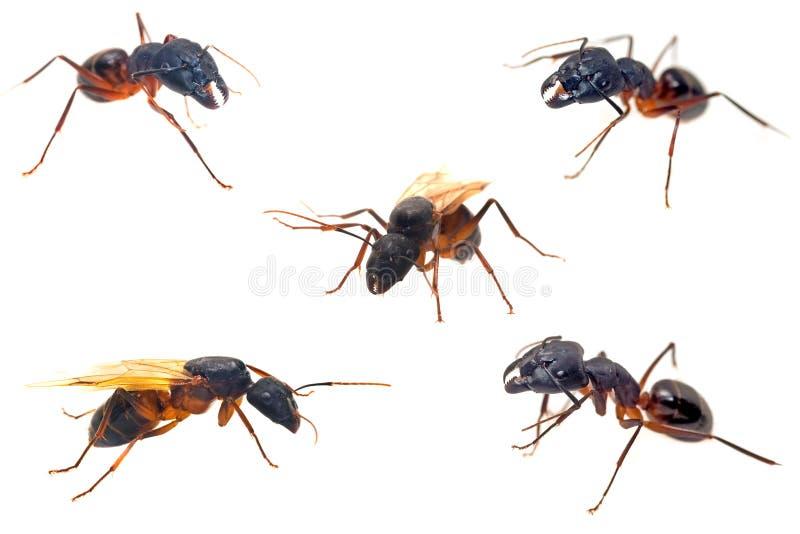 De close-upinzamelingen van mieren die op wit worden geïsoleerdn royalty-vrije stock fotografie