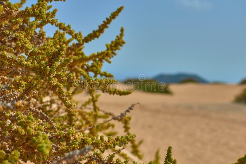 De close-upmening van een groene installatie met vruchten en defocused bergachtergrond in Corralejo, Fuerteventura royalty-vrije stock fotografie