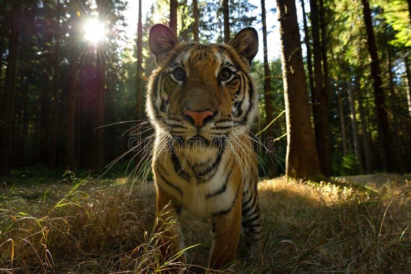 De close-upvoorzijde kijkt aan Siberische tijger met zonstralen Gevaarlijke close-up van wild dier Panthera Tigris Altaica stock fotografie