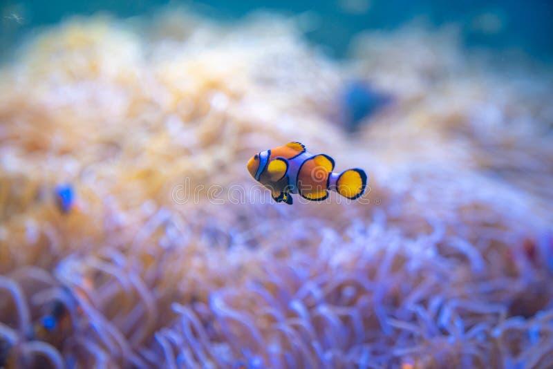 De clown of Anemone Fish zwemt rond Zeeanemonen in het overzees royalty-vrije stock foto's