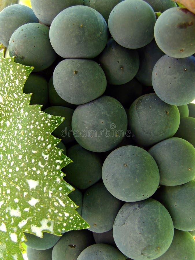 De cluster van de druif met blad stock afbeelding